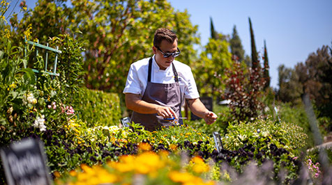 Chef clipping herbs in the garden